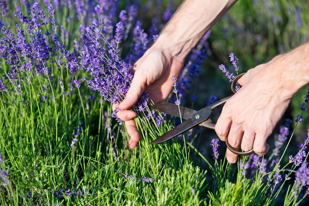 Cutting the Fresh Lavender