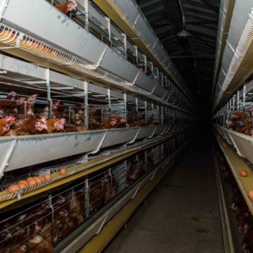 Australia's National Plan to Allow Battery Cages Until 2036 Favours Cheap Eggs Over Animal Welfare